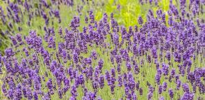 Ferienhof Thommes Eifel-Häuschen Im Lavendel